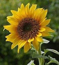 Bunga Matahari dapat digunakan untuk meredakan asma